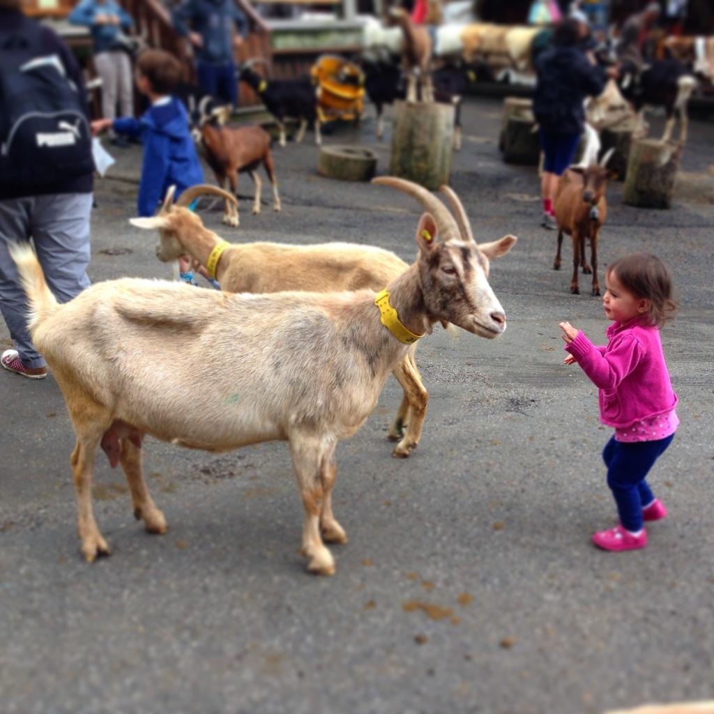 Kara goats