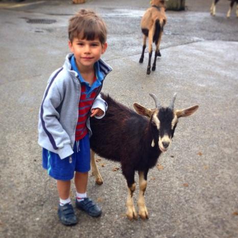 Toby goat