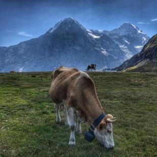 Summer holiday 2017 Mannlichen cow